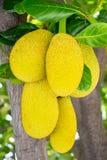 Jackfruit på treen Royaltyfria Foton