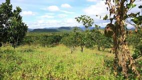 Jackfruit plantation of Eastern Vietnam. Jackfruit plantations in the highlands of Eastern Vietnam stock video