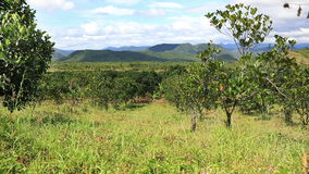 Jackfruit plantation in Vietnam. Panoramic video shot of Jackfruit plantations in the highlands of Eastern Vietnam stock video footage