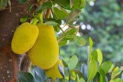 Jackfruit Produce Royalty Free Stock Image
