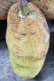 Jackfruit produkty rolni Zdjęcie Stock