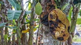 Jackfruit putrefacto Foto de archivo libre de regalías