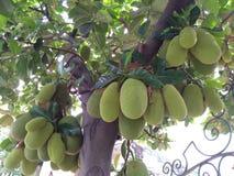 Jackfruit que todavía cuelga en el árbol Foto de archivo libre de regalías