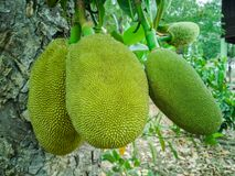 Jackfruit, small green ball hanging royalty free stock images