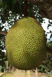 Jackfruit som växer på ett träd Arkivbild