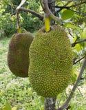 Jackfruit sull'albero Immagini Stock