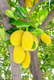Jackfruit sull'albero Fotografia Stock Libera da Diritti