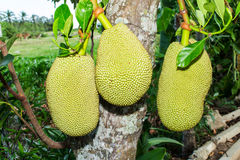 Jackfruit in thai garden Stock Photos