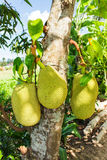 Jackfruit in thai garden Royalty Free Stock Photography