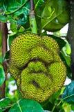 Jackfruit in Thailand Stockbilder