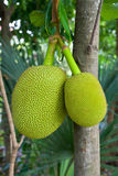 Jackfruit in Thailand Royalty Free Stock Photo