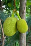 Jackfruit in Thailand Lizenzfreies Stockfoto