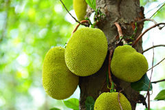 jackfruit tree 库存照片