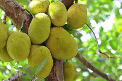 Jackfruit on tree Stock Images