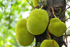 Jackfruit on tree Royalty Free Stock Images