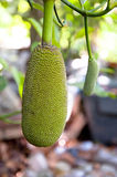 Jackfruit on a tree Royalty Free Stock Photo