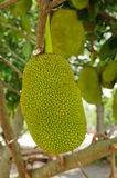 Jackfruit  on the tree Stock Images