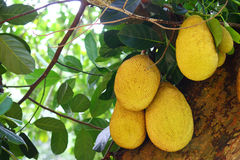 Jackfruit on tree Stock Image