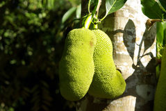 Jackfruit on tree Stock Photos