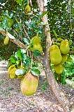 Jackfruit Tree. In the garden area Stock Image
