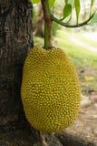 Jackfruit on tree Stock Photos