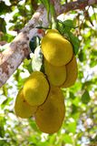 Jackfruit on the tree Royalty Free Stock Photography