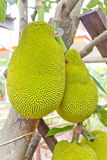 Jackfruit on the tree Stock Image