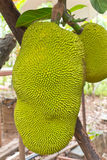 Jackfruit on the tree Stock Photography