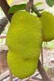 Jackfruit on the tree Stock Photography