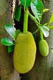Jackfruit on tree Stock Photo