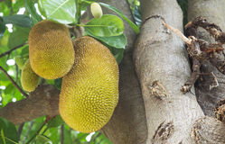jackfruit  on a tree Stock Photo