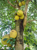 Jackfruit tree Royalty Free Stock Photo