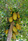 Jackfruit On the tree. Of agriculture in Thailand Stock Photos