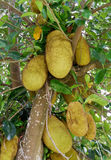 Jackfruit On the tree. Of agriculture in Thailand Stock Photo
