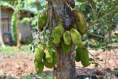 Jackfruit On the tree. Of agriculture in Thailand Stock Photography
