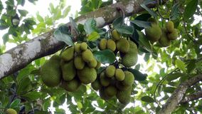 The jackfruit on the tree. The jackfruit on a tree branch in the fruit orchard in Long Khanh - Dong Nai Stock Photos