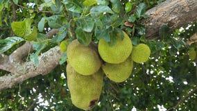 Jackfruit on the tree stock video footage