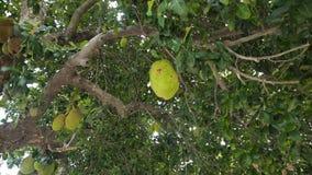 Jackfruit on the tree. Tree branch full of jack fruits.Close up of jack fruit on the tree stock video footage