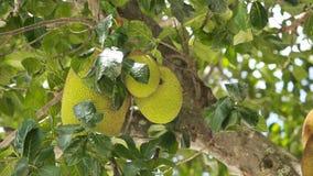Jackfruit on the tree. Tree branch full of jack fruits.Close up of jack fruit on the tree stock video