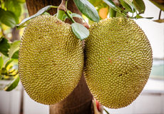 Jackfruit on the tree Royalty Free Stock Images