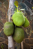 The Jackfruit tree royalty free stock photography