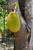 Jackfruit on tree Royalty Free Stock Photos