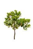 Jackfruit tree Stock Images