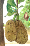 Jackfruit. Tree fruit for a delicious snack handy Royalty Free Stock Photography
