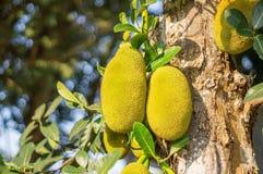 Jackfruit tree Royalty Free Stock Image