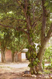 Jackfruit Tree Stock Photos