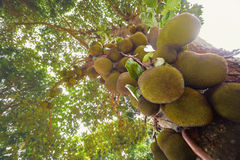 Jackfruit Tree Stock Photography