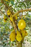 Jackfruit tree Stock Image