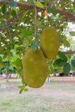 jackfruit on tree in garden Royalty Free Stock Photography