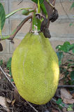 Jackfruit tree in the garden Royalty Free Stock Photography